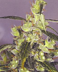 Bunga betina ganja memproduksi biji