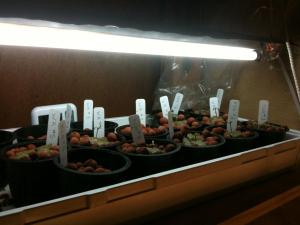 Lampu T5 fase pembibitan tanaman ganja