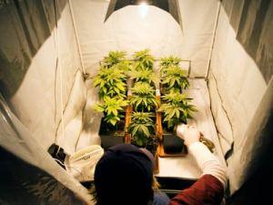 marijuana grower indoor