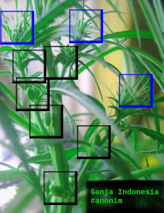 Tanaman Ganja Dengan kelamin Ganda Kotak Biru Menunjukkan Bunga Betina dan Kotak Hitam Menunjukkan Bunga Jantan